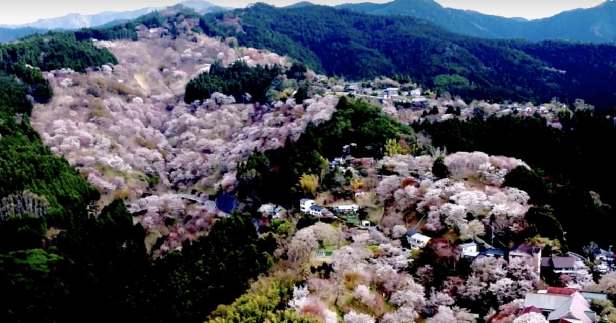 世界遺産金峯山寺蔵王堂/吉野山桜の撮影